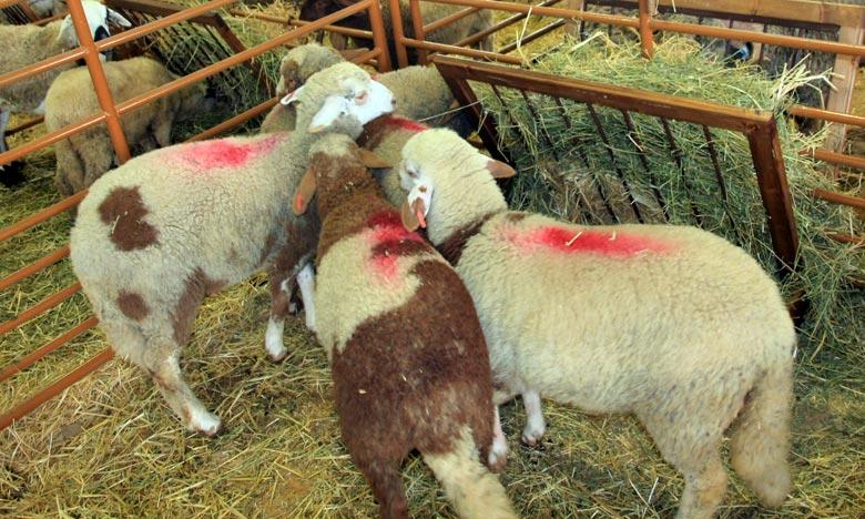 L'identification des ovins et des caprins destinés à l'Aïd Al-Adha se veut un outil qui permet l'acquisition des animaux facilitant leur traçabilité en cas de besoin. Ph : MAP-Archives