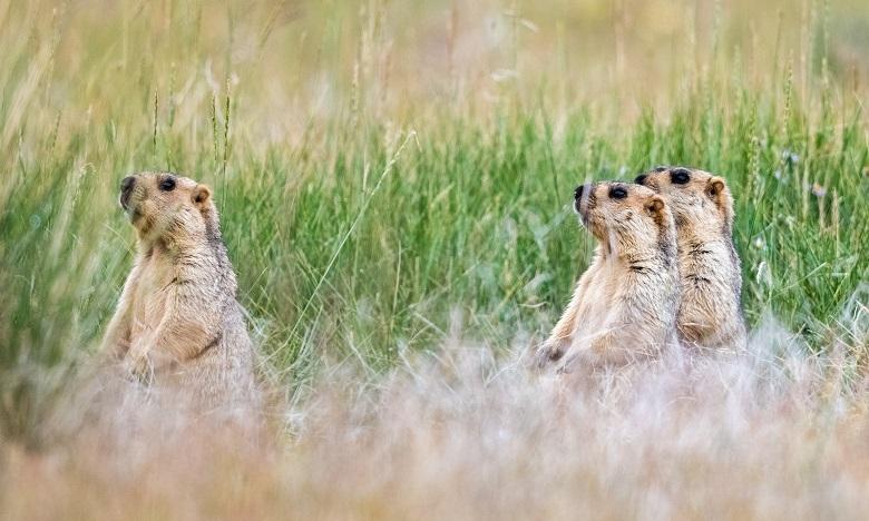 La chasse et la consommation d'animaux susceptibles de transmettre la peste, en particulier les marmottes, a été interdite jusqu'à la fin de l'année. Ph. Shutterstock