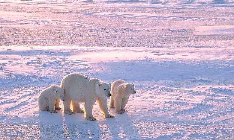 Réchauffement: Une étude prédit l'extinction des ours polaires d'ici 2100
