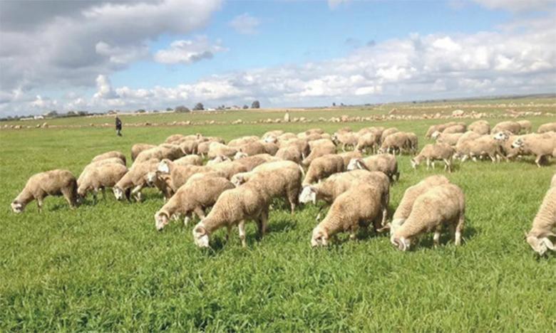 Les moutons de Aïd Al-Adha en ligne
