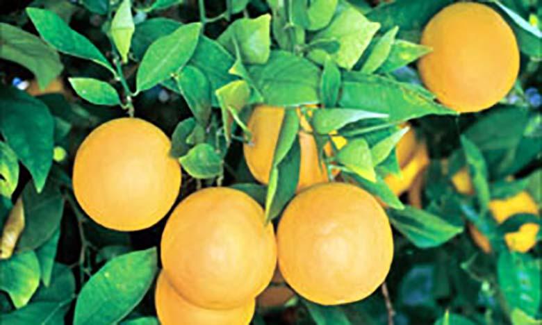 Chute attendue de 11% de la production d'agrumes dans l'UE, une aubaine pour le Maroc