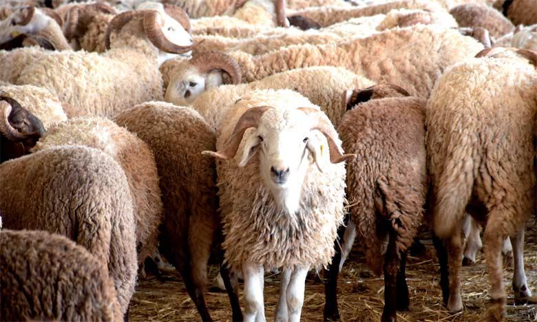 Aïd Al-Adha: Identification de plus de 7,2 millions de têtes d'ovins et de caprins