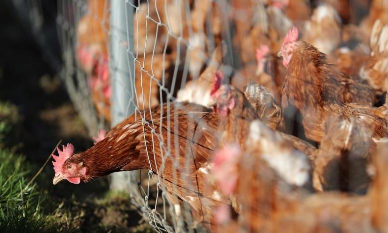 Le coronavirus à l'origine de la maladie Covid-19 a été découvert au cours d'un contrôle de routine sur du poulet importé du Brésil, premier producteur mondial. Ph : DR