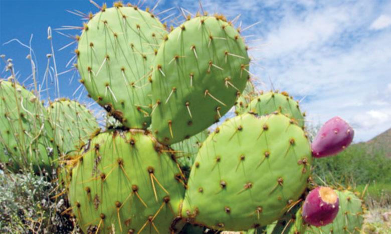 Le cactus résiste aux effets  de la cochenille et du Covid-19