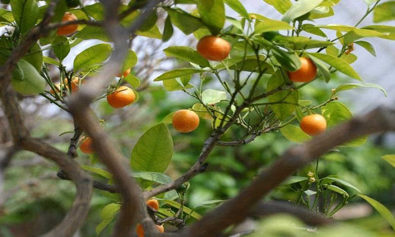 Rabat-Salé-Kénitra: La production prévisionnelle en agrumes estimée à 600.000 tonnes