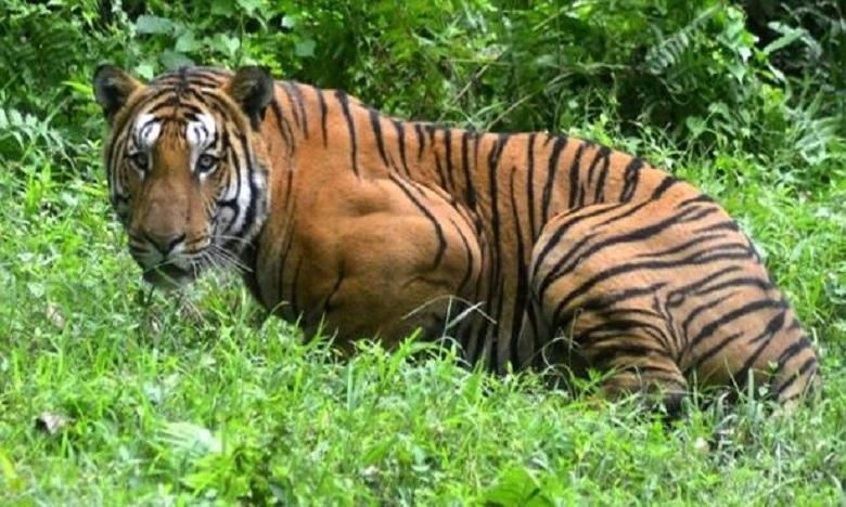 Des témoins ont déclaré que la victime était assise à proximité de son bétail lorsqu'un tigre lui a attaquée. Ph: DR.