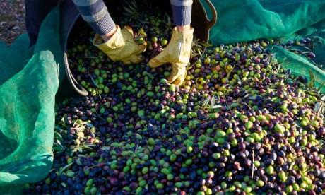 El Kelaâ des Sraghna: Une production oléicole de plus de 150 mille tonnes pour l'actuelle saison