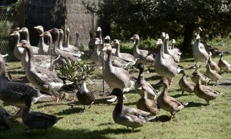 Grippe aviaire :  Un premier élevage français contaminé