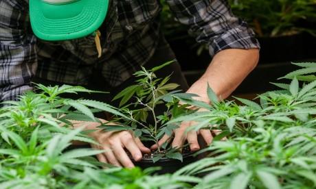 Légalisation du cannabis: le processus enclenché
