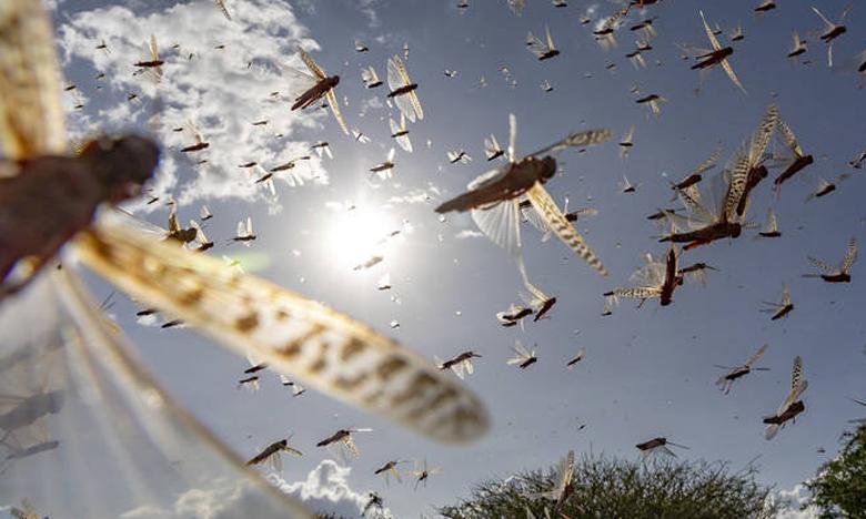 En 2020, des opérations de lutte contre le criquet pèlerin ont protégé 3,1 millions de tonnes de céréales d'une valeur de 939 millions de dollars. Ph. FAO
