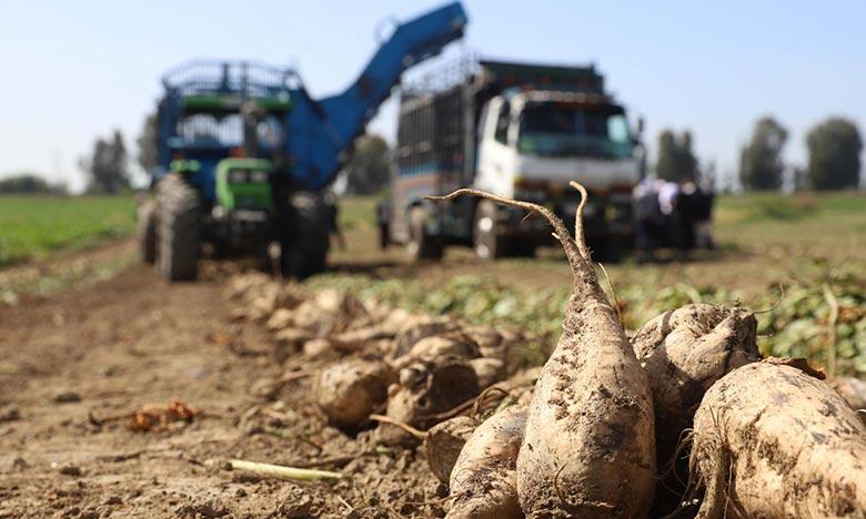 La superficie cultivée de la betterave à sucre dans le périmètre du Gharb pour la campagne 2020-2021 est de 15.650 hectares. Ph : MAP