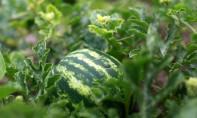 L'ONSSA avait affirmé que les semences végétales utilisées au Maroc dans la culture de pastèque ne sont pas génétiquement modifiées. Ph : DR