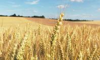 Céréaliculture : Une récolte de 103,2 millions de quintaux pour la campagne 2020-2021