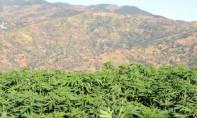 Zones de culture du cannabis: voici les recommandations du CESE