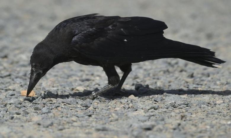 Les corbeaux, ça aide à ramasser les mégots !